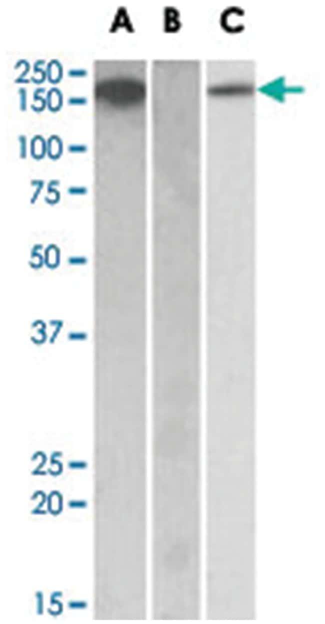 CSF1R Goat anti-Human, Polyclonal Antibody, Abnova 100µg; Unlabeled:Life
