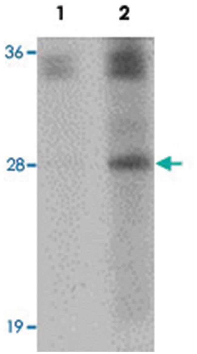SYNGR4, Rabbit, Polyclonal Antibody, Abnova 100µg; Unlabeled:Life