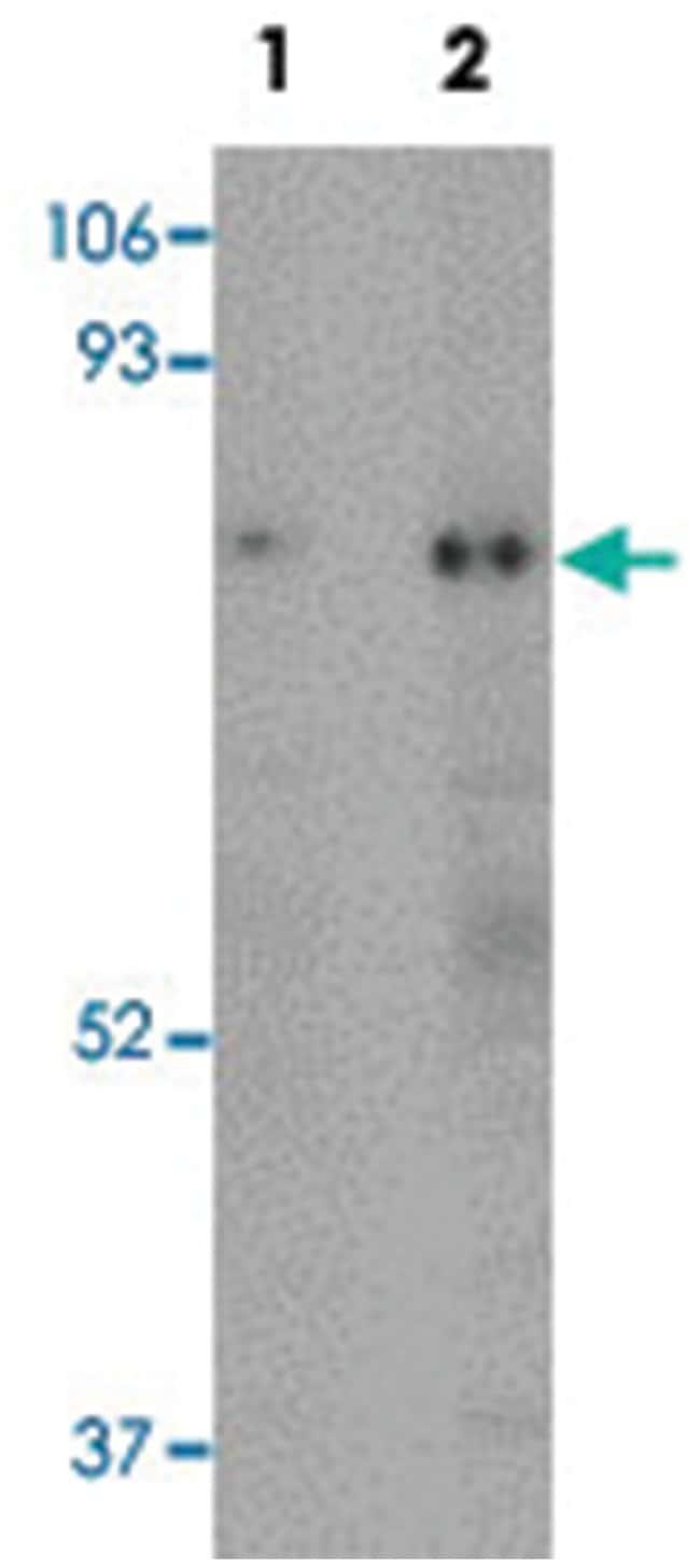 RANBP10, Rabbit, Polyclonal Antibody, Abnova 100µg; Unlabeled:Life