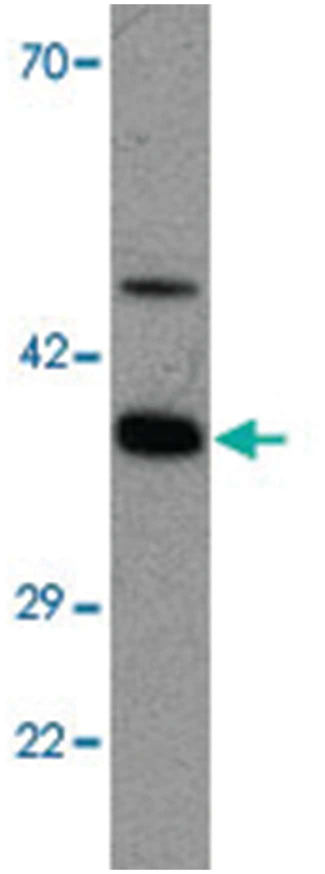 APOA4 Rabbit anti-Chicken, Human, Polyclonal Antibody, Abnova 100µg;
