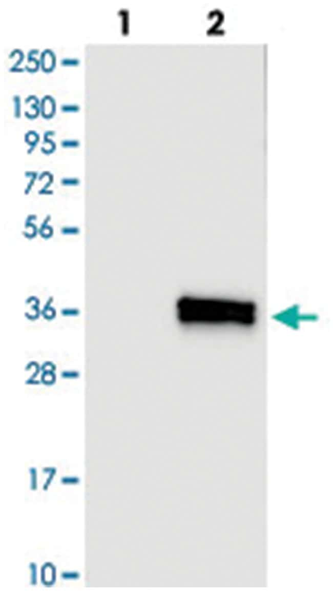 IL12A, Rabbit, Polyclonal Antibody, Abnova 100μL; Unlabeled:Antibodies