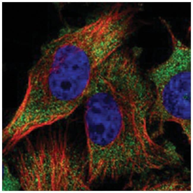 GCN1L1 Rabbit anti-Human, Polyclonal Antibody, Abnova 100µL; Unlabeled:Life