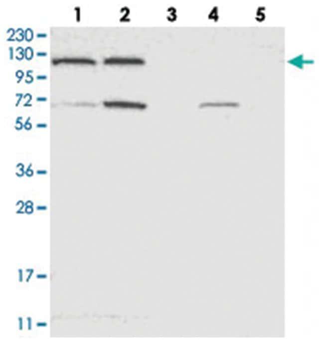 ACLY Rabbit anti-Human, Polyclonal Antibody, Abnova 100µL; Unlabeled:Life