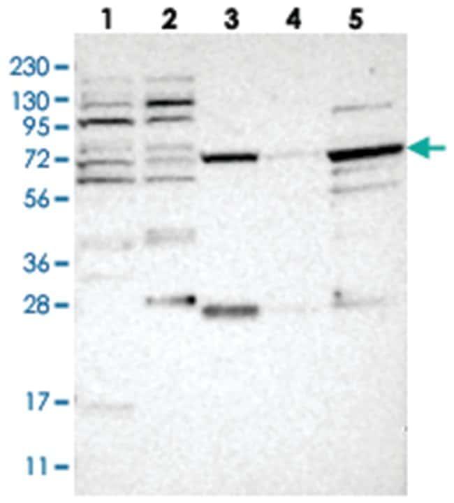 NUDCD1, Rabbit, Polyclonal Antibody, Abnova 100μL; Unlabeled:Antibodies