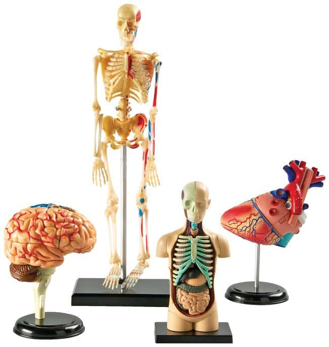 Learning Resources Anatomy Models Set:Education Supplies:Biology and Biotechnology