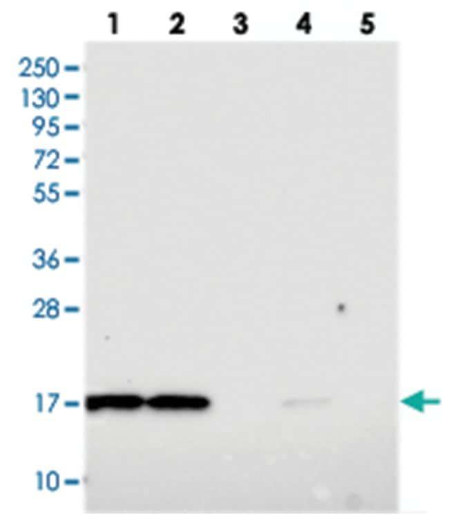 OCIAD2 Rabbit anti-Human, Polyclonal Antibody, Abnova 100µL; Unlabeled:Life