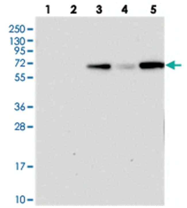 PLEKHG6, Rabbit, Polyclonal Antibody, Abnova 100µL; Unlabeled:Life
