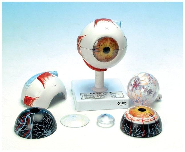 EISCO&nbsp;Human Eye Model, Seven-Part&nbsp;<img src=