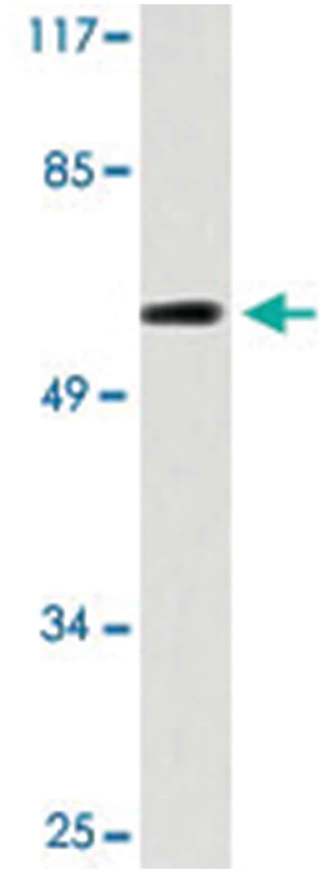 CDC6 Rabbit anti-Human, Polyclonal Antibody, Abnova 100µL; Unlabeled:Life