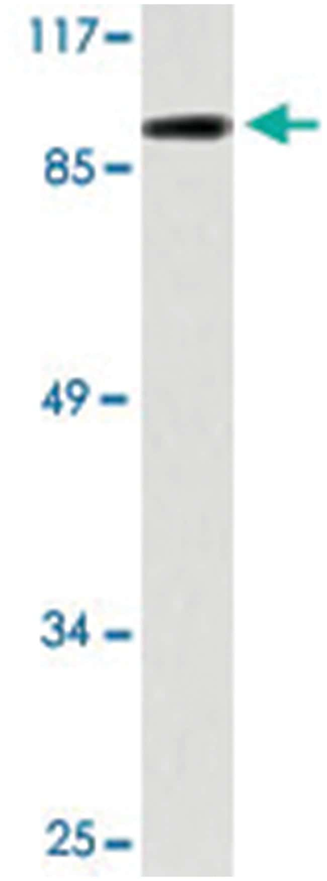 TAS1R3 Rabbit anti-Human, Polyclonal Antibody, Abnova 100µL; Unlabeled:Life