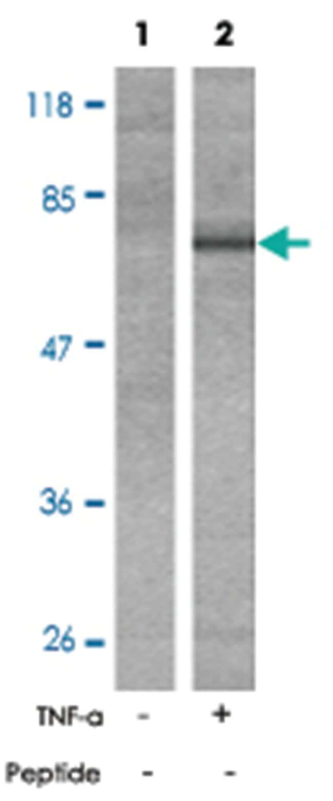 PTK2B (phospho Y402), Rabbit anti-Human, Mouse, Rat, Polyclonal Antibody,