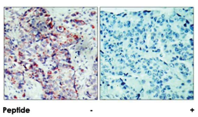 MAP2K4 (phospho S80), Rabbit anti-Human, Mouse, Rat, Polyclonal Antibody,
