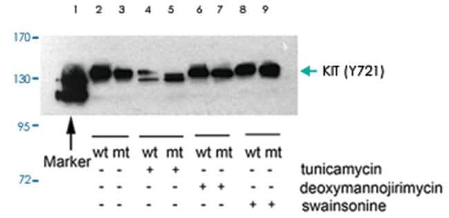KIT (phospho Y721), Rabbit anti-Human, Mouse, Rat, Polyclonal Antibody,