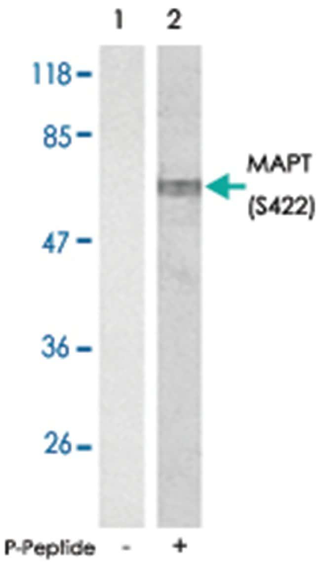 MAPT (phospho S422), Rabbit anti-Human, Mouse, Rat, Polyclonal Antibody,