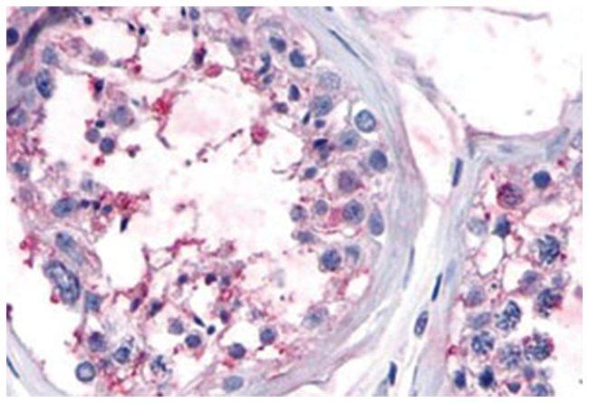 OR10R2 Rabbit anti-Human, Monkey, Polyclonal Antibody, Abnova 50µg;