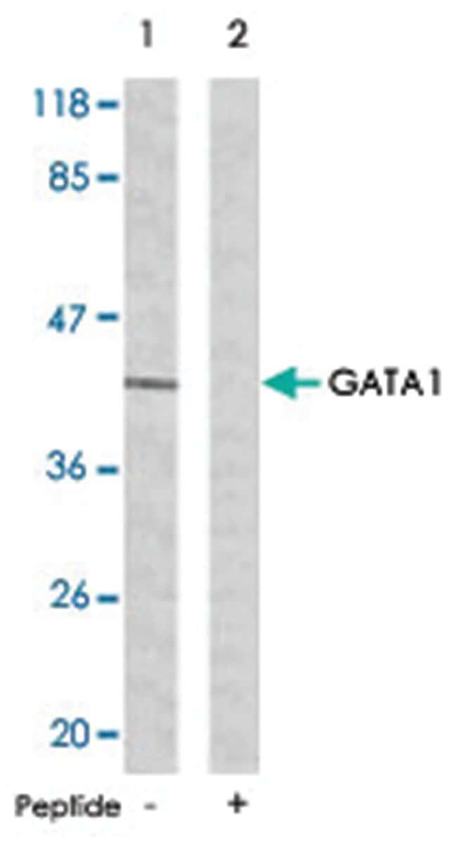 GATA1 Rabbit anti-Human, Mouse, Rat, Polyclonal Antibody, Abnova 100µg;