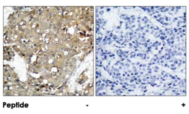 STAT1 Rabbit anti-Human, Mouse, Rat, Polyclonal Antibody, Abnova 100µg;