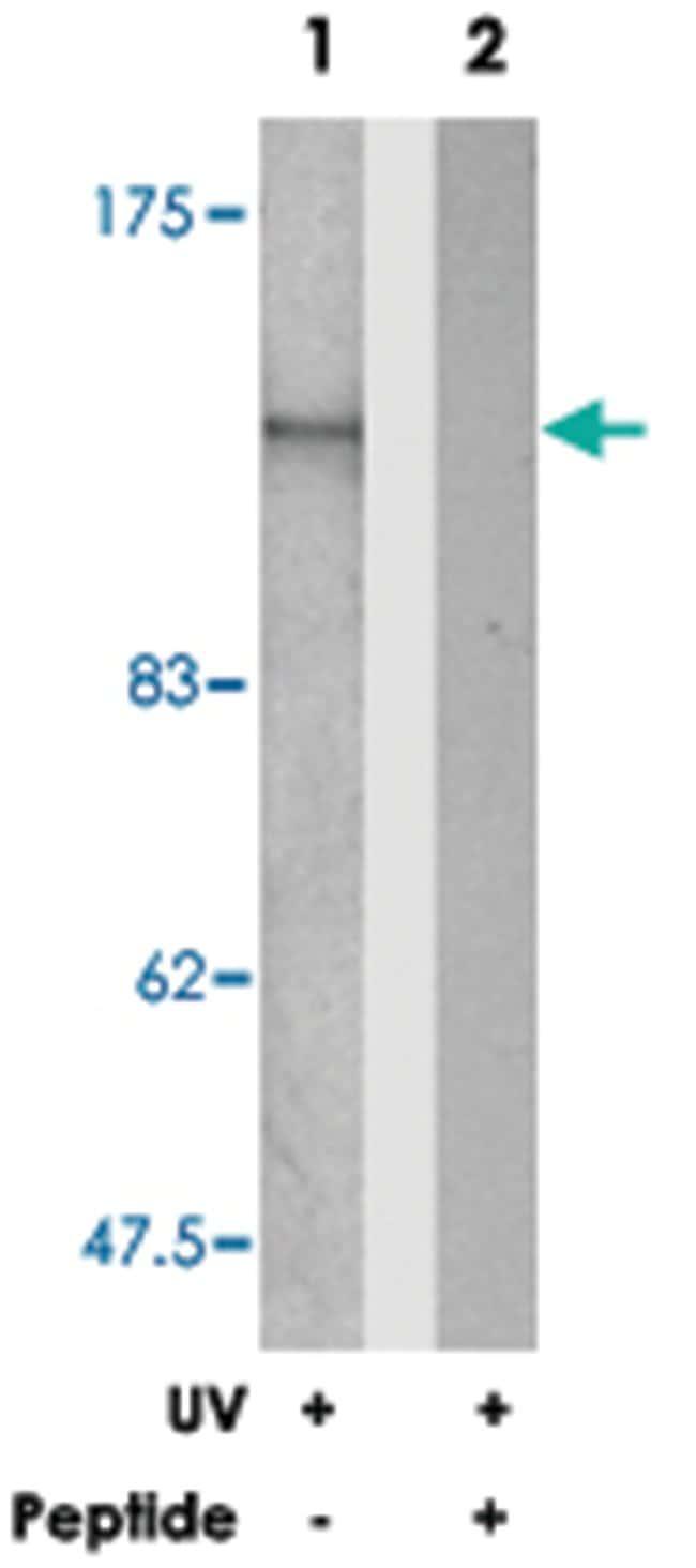 SMC1A Rabbit anti-Human, Mouse, Polyclonal Antibody, Abnova 100µg;