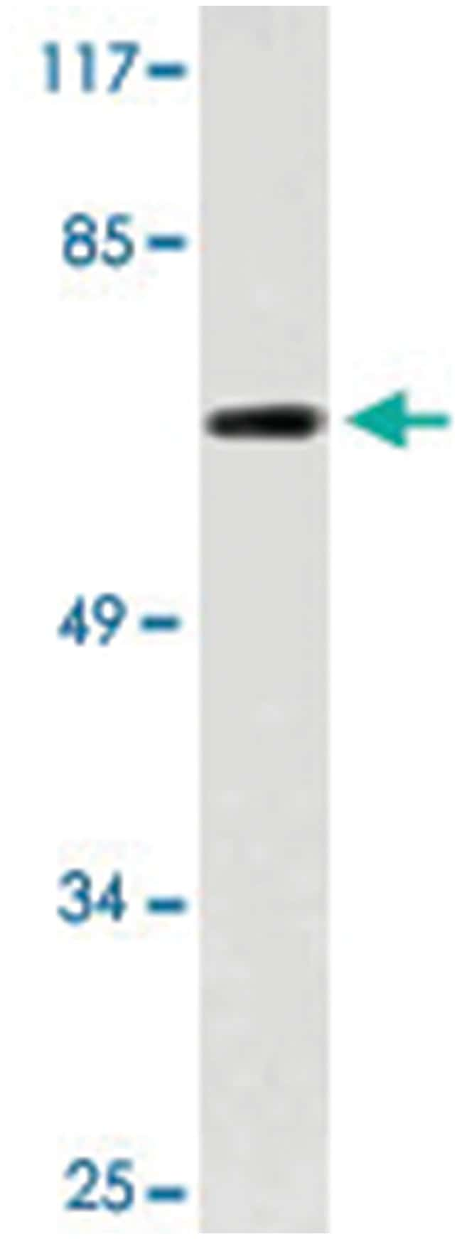 ME3 Rabbit anti-Human, Mouse, Polyclonal Antibody, Abnova 100µL; Unlabeled:Life