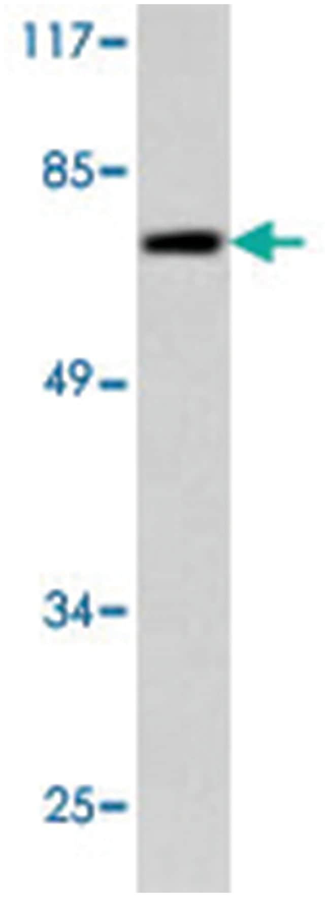 NUB1 Rabbit anti-Human, Mouse, Polyclonal Antibody, Abnova 100µL;