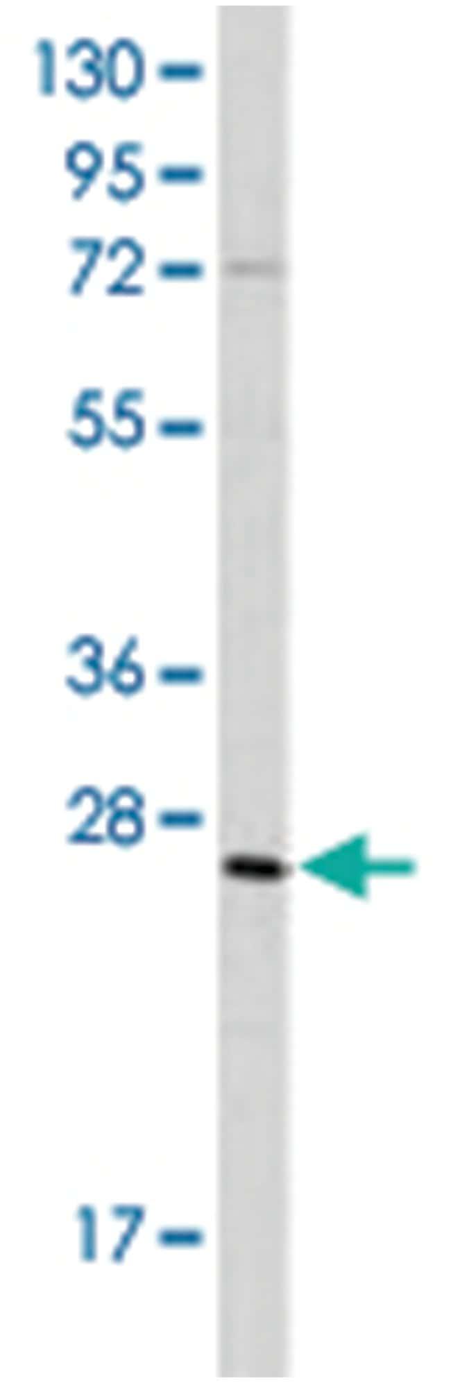 GREM1 (C-terminus), Rabbit, Polyclonal Antibody, Abnova 400µL; Unlabeled