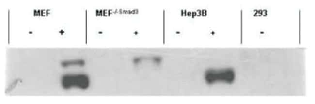 Smad3 (p Ser423, p Ser425) Rabbit, Polyclonal, Novus Biologicals 0.025mg;