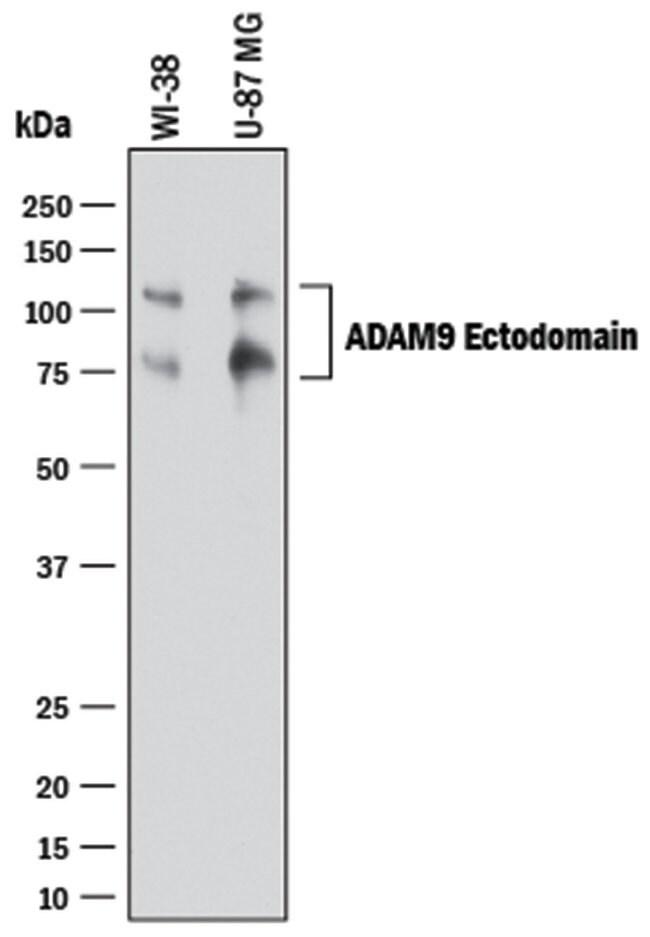 ADAM9 Ectodomain Goat anti-Human, Polyclonal, R 100µg; Unlabeled