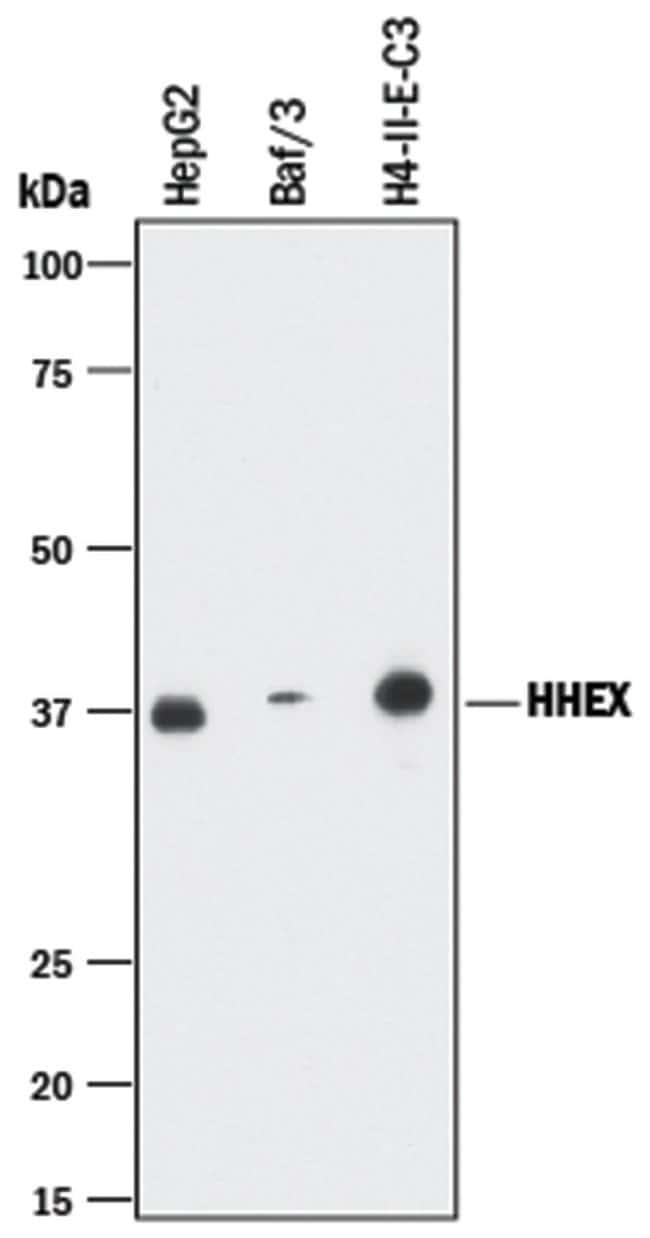 HHEX Rabbit anti-Human, Mouse, Rat, Clone: 2018B, R::