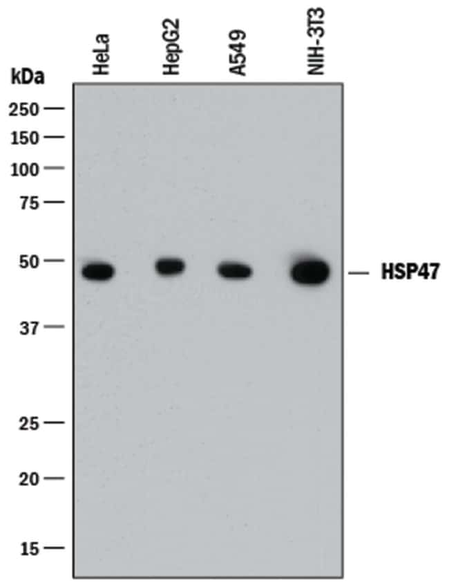 Hsp47 Mouse anti-Human, Mouse, Clone: 950806, R::
