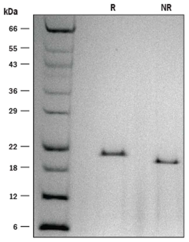 R ProDots Human IL-6 Recombinant Protein:Life Sciences:Protein Biology