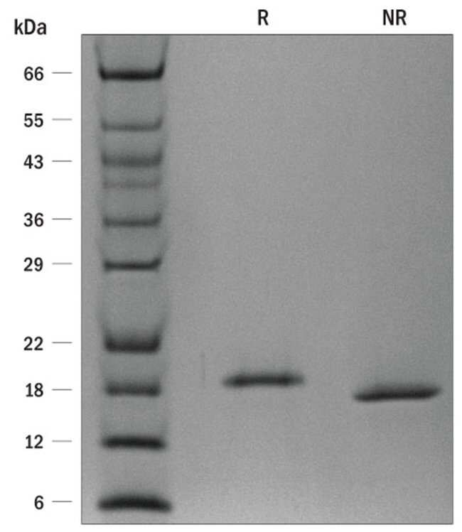 R ProDots Human LIF Recombinant Protein 250µg:Life Sciences