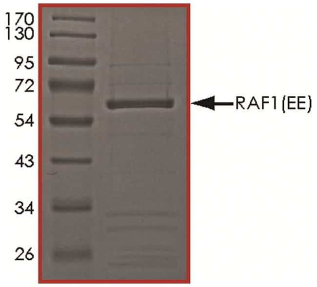 R Human Active Raf-1 (Y340E Y341E, 306-end), Carrier-Free Recombinant Protein