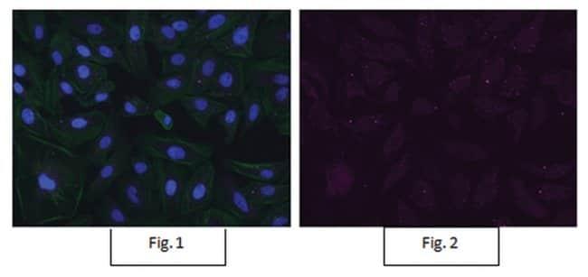 MilliporeSigma Mouse anti-Bmi-1, Clone: F6, Alexa Fluor 647, 100µL;