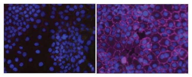MilliporeSigma Phosphotyrosine, recombinant, Mouse, Alexa Fluor 647, Clone: