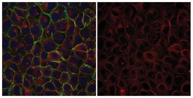 MilliporeSigma-Tubulin, Mouse, Alexa Fluor 555, Clone: DM1A, 100μL;