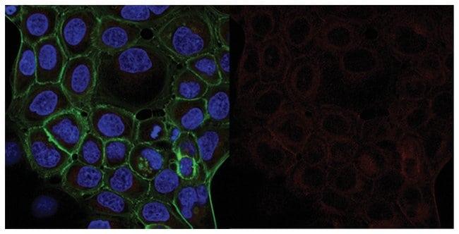 MilliporeSigma Mouse anti--Tubulin, Clone: DM1A, Alexa Fluor 647, 100µL;