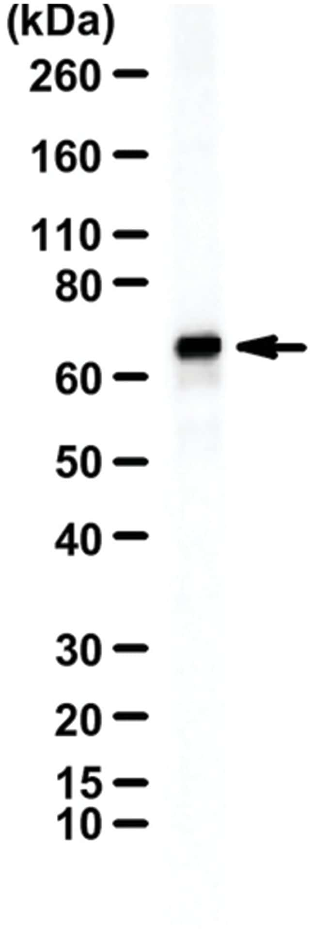 ITK/EMT/TSK Rabbit anti-Human, Polyclonal, MilliporeSigma 100µg; Unlabeled:Life