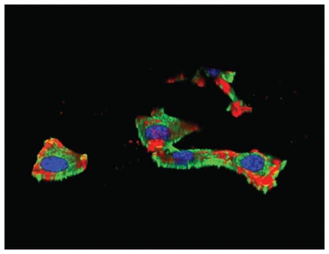 MilliporeSigma Chicken anti-IGF-IR subunit, Polyclonal, 100µg:Life