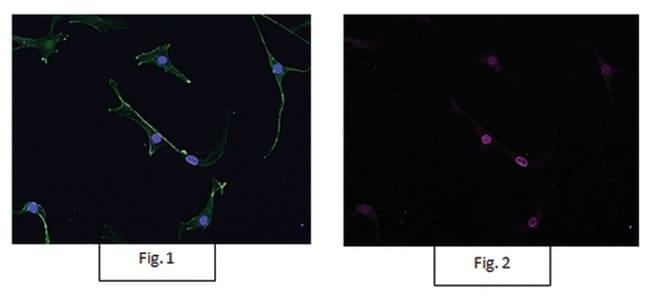 MilliporeSigma Rabbit anti-acetyl-Histone H3, Alexa Fluor 647, Polyclonal