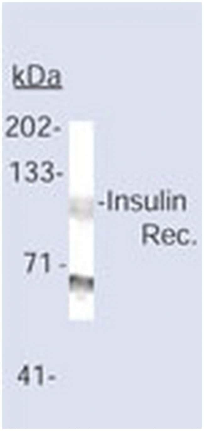 MilliporeSigma anti-Insulin Receptor (beta-Subunit) Clone: CT-3, 100µg,