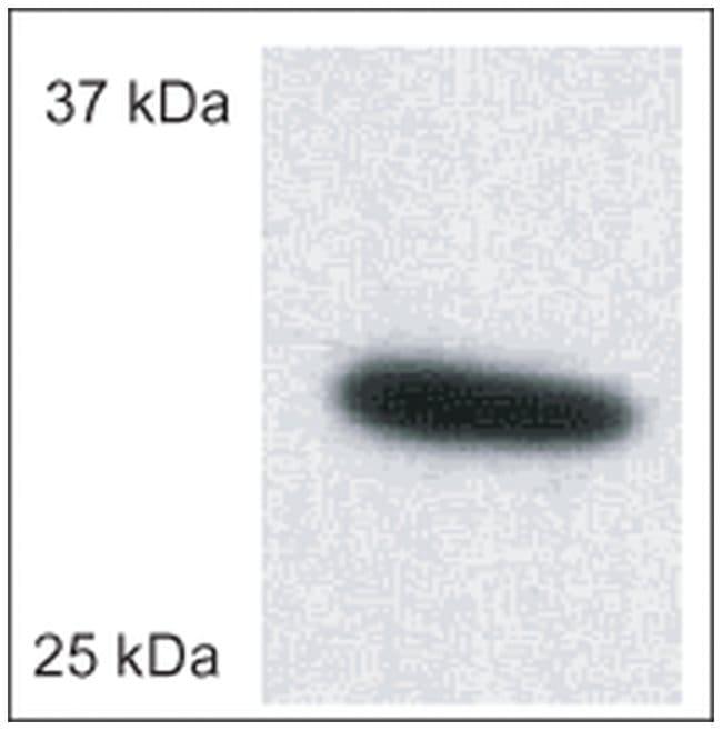 MilliporeSigma anti-Porin (Ab-5) (185-197), Polyclonal  50µg, Unlabeled