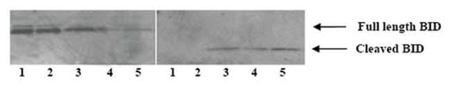 MilliporeSigma anti-Cleaved Bid (Ab-1), Polyclonal 10 Tests, Unlabeled