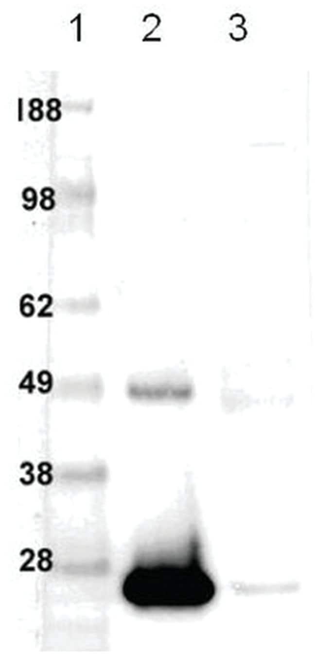 MilliporeSigma anti-Bcl-2 (Ab-2) (20-34), Polyclonal 100µg, Unlabeled:Life