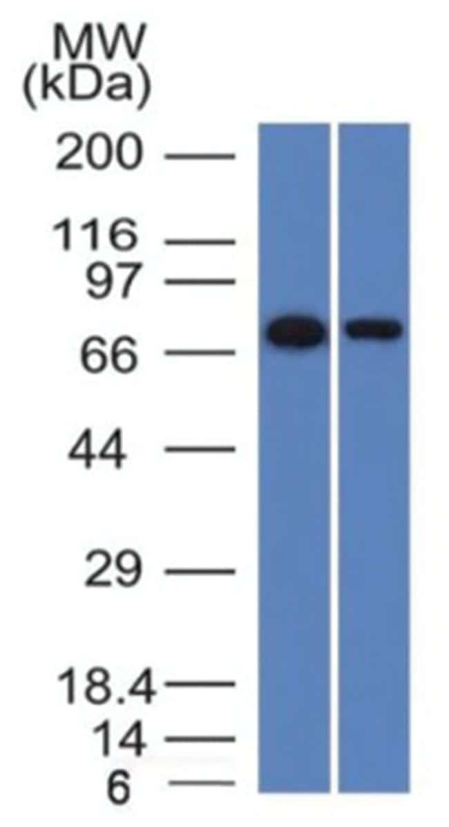 Endoglin/CD105 Mouse anti-Human, Clone: ENG/1327- Azide and BSA Free, Novus
