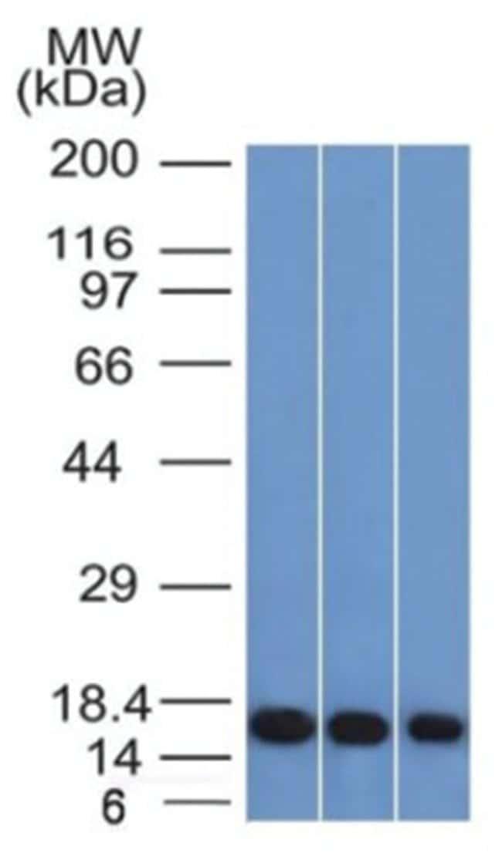 Galectin-1 Mouse anti-Human, Clone: GAL1/1831- Azide and BSA Free, Novus
