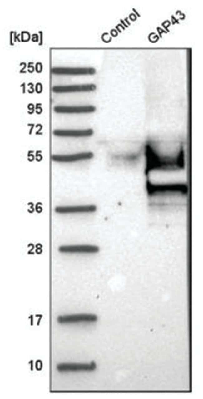 GAP-43 Rabbit anti-Human, Polyclonal, Novus Biologicals::
