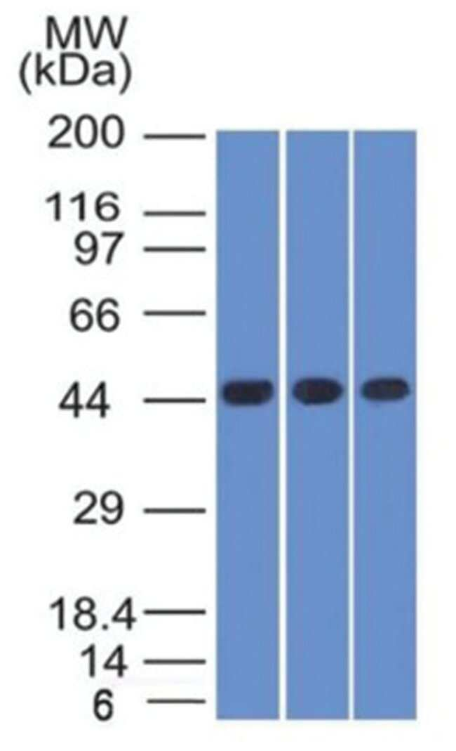 Napsin-A Mouse anti-Human, Clone: NAPSA/1238- Azide and BSA Free, Novus
