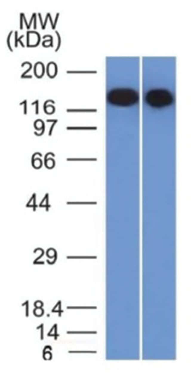 Siglec-2/CD22 Mouse anti-Human, Clone: BLCAM/1795- Azide and BSA Free,