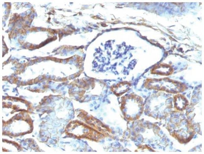 Spectrin beta 3 Mouse anti-Human, Mouse, Rat, Clone: SPTBN2/1584, Novus