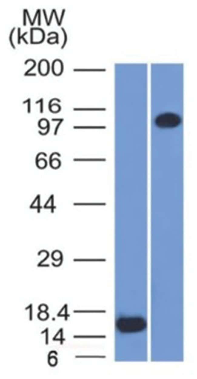 Thrombomodulin/BDCA-3 Mouse anti-Human, Clone: THBD/1591- Azide and BSA
